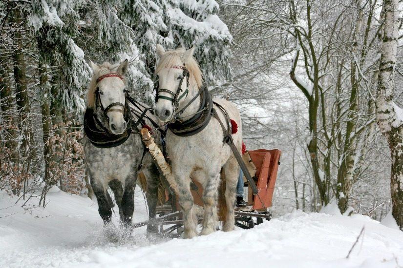 Un traîneau en bois est traîné par des chevaux  dans le sentier d'une forêt très enneigée.